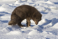 Commanders blue arctic fox which is bent back on the beach on Stock Image