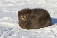 Commanders blue arctic fox who sleeps curled up winter Royalty Free Stock Photo