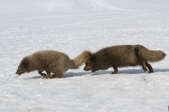 Commanders blue arctic foxes running one after the other during Stock Photos