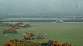 Commandes de voiture après des champs des moutons en brume clips vidéos