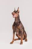 Commandes se reposantes et de écoutes de chien femelle sportif Image stock