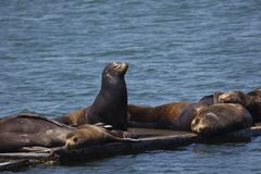 Commanding stance of sea lion among sleeping peers in Crescent C. One sea lion stands out, commanding and regal, among sleeping peers at harbor marina in Stock Images
