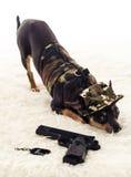 Commando dog in guard Stock Photos