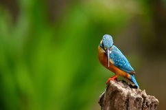 Commaon Kingfisher. This bird was shot almost a year late and when I consider getting back to my place and suddenly to my surprise gave a striking pose thanks Royalty Free Stock Images