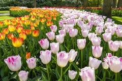 Comme route d'enroulement ces rangées des tulipes font leur voie par le parc photos stock