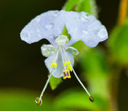 Commelina Benghalenis de forêt tropicale photographie stock