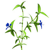 Commelina benghalensis Royalty Free Stock Photo