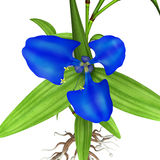 Commelina benghalensis Stock Image