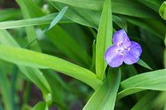 Commelina violeta Imágenes de archivo libres de regalías