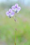 Commelinaceae Fotografering för Bildbyråer