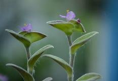 Commelinaceaebloem Royalty-vrije Stock Foto