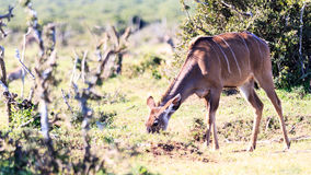 Commen Duiker. Image Shot at Addo Elephant National Park royalty free stock photography
