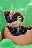 Commencer des jeunes plantes dans les coquilles d'oeuf Photos stock