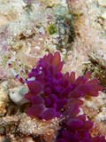 Commensal Shrimp and host anemone in Raja Ampat, Indonesia Stock Photo
