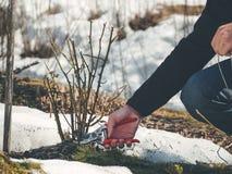Comment à l'hiver le pruneau s'est levé des usines photos libres de droits