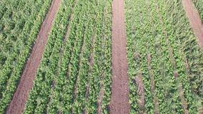 Comment les légumes se développent sur le champ Les tomates, courgette, concombres, aubergines, pommes de terre se développent da banque de vidéos