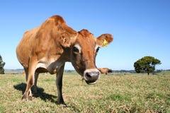 Comment maintenant vache à Brown ? Photo stock