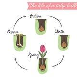Comment planter des tulipes Photo stock