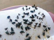 Comment se débarasser des mouches/beaucoup mouche emprisonnée sur la colle de livre blanc image libre de droits