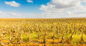 Commerciële Maïs die in Afrika bewerken stock foto