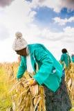 Commerciële Maïs die in Afrika bewerken stock afbeelding