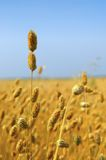 Commercial Canary Seed Crop Royalty Free Stock Image