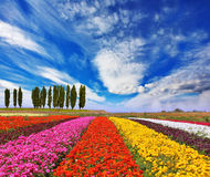 Commercial cultivation of flowers for sale abroad. Royalty Free Stock Photos
