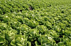 Rows of Bibb Lettuce. Commercial farm field filled with Bibb lettuce, North Vietnam Royalty Free Stock Photo