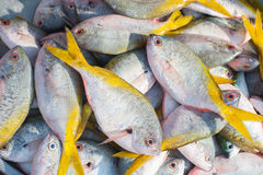Commercial fish Royalty Free Stock Image