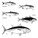 Commercial Fish Illustrations. Hand drawn illustration of the Blue Fin, Atlantic Cod, Pilchard (Sardine), Trout, Salmon Stock Image
