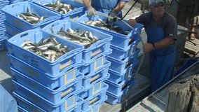 Commercial Fishing Industry fisherman fish catch on boat at fishing docks stock video footage