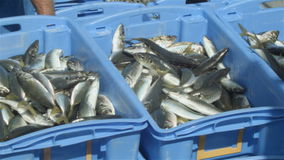 Commercial Fishing Industry fisherman fish catch on boat at fishing docks. This clip is of fish from a fishing boat being processed and put into containers to be stock video footage