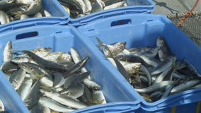 Commercial Fishing Industry fisherman fish catch on boat at fishing docks. This clip is of fish from a fishing boat being processed and put into containers to be stock footage