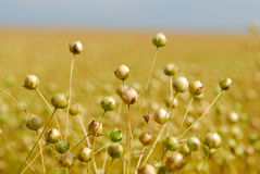 Commercial Flax. A commercial flax crop ready for harvesnt stock photos