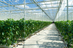 Commercial greenhouse Stock Image