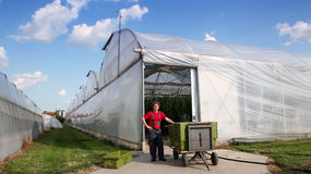 Commercial Greenhouse Exterior. Worker in work suit standing in front of the commercial greenhouse beside plastic crates with fresh tomato Royalty Free Stock Image