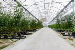 Commercial Greenhouse with Hydroponics. Commercial greenhouse using a hydroponics system Royalty Free Stock Photo