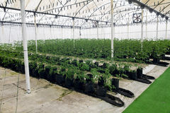 Commercial Greenhouse with Hydroponics Royalty Free Stock Photo