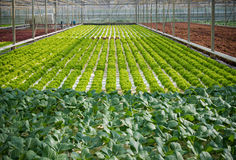 Commercial greenhouse interior Royalty Free Stock Photography