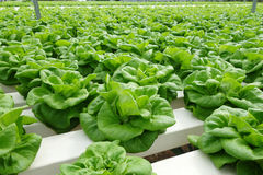 Commercial greenhouse soilless cultivation of vegetables. In the commercial greenhouse soilless cultivation of vegetables royalty free stock photos