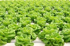 Commercial greenhouse soilless cultivation of vegetables. In the commercial greenhouse soilless cultivation of vegetables stock image