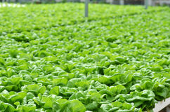 Commercial greenhouse soilless cultivation of vegetables. In the commercial greenhouse soilless cultivation of vegetables stock images