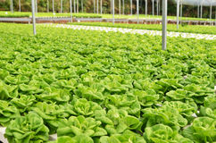 Commercial greenhouse soilless cultivation of vegetables. In the commercial greenhouse soilless cultivation of vegetables royalty free stock photography