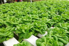 Commercial greenhouse soilless cultivation of vegetables. In the commercial greenhouse soilless cultivation of vegetables royalty free stock image
