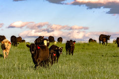 Commercial heifers in lush pasture at sunset Stock Photos