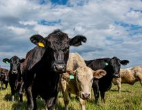 Commercial heifers in spring pasture