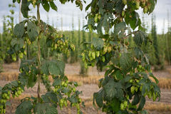 Commercial Hop Farm in Oregon Royalty Free Stock Images