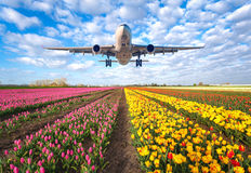 Commercial plane and tulips. Airplane. Landscape with passenger airplane is flying in the blue sky with clouds over the flowers field at colorful sunset in royalty free stock photo
