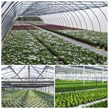 Commercial plants growing in greenhouse Royalty Free Stock Photo