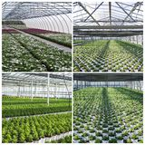 Commercial plants growing in greenhouse Stock Photos